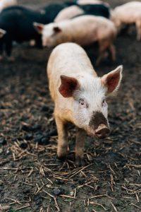 Free range pork Ireland