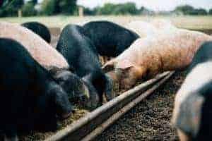 Pig Farm Limavady