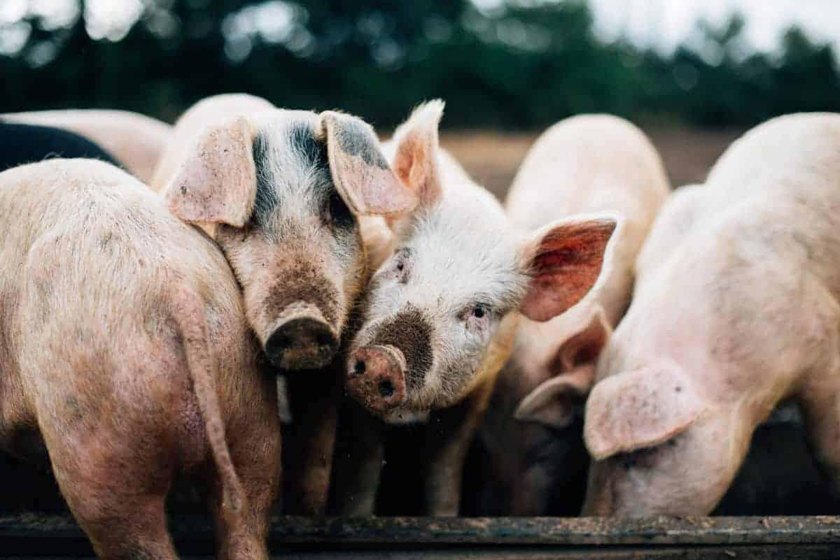 Free Range Pig Farm Northern Ireland