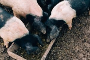 Free Range Pig Farm Ireland
