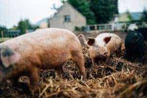 Pig Farm Ireland